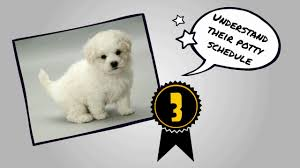 bichon frise 17 years old how to potty train a bichon frise house train a bichon frise