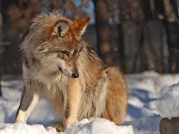 imagenes de fondo de pantalla lobos fondos de pantalla de lobos fondos de pantalla y mucho más
