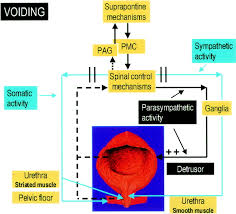 Muscles Of The Pelvic Floor Ppt by Pharmacology Of The Lower Urinary Tract Basis For Current And
