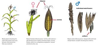 Reproduction In Flowering Plants - how do plants reproduce sexually b4fa
