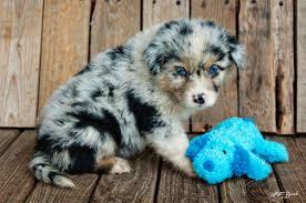 australian shepherd names male 71 most cute australian shepherd puppies pictures and photos