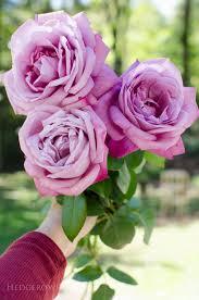 Fragrant Rose Plants - fragrant roses