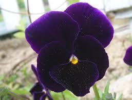 fiori viola la viola una pianta ideale per aiuole e bordure giardinaggio