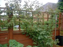 How To Grow Grapes In Your Backyard by 54 Best Grapevine Trellis Images On Pinterest Backyard Ideas