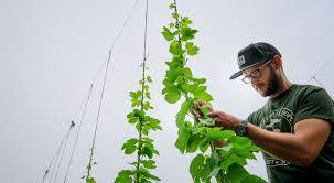 minnesota u0027s craft beer boom spawns a fledgling hops industry