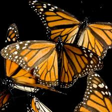 Monarch Migration Map Monarch Butterfly National Geographic