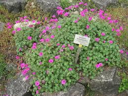 Geranium by Geranium Subcaulescens Wikipedia