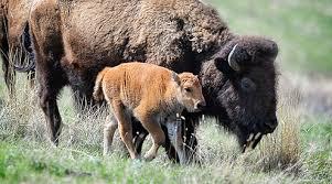 Bison Connect Department Of Interior Northern Rockies U0026 Prairies