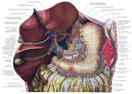 Anatomy Human Abdomen Human Abdomen Anatomy Human Anatomy Charts