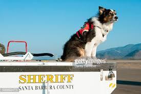 australian shepherd california australian shepherd search and rescue dog california usa stock