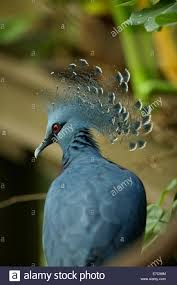 the victoria crowned pigeon goura victoria is a large bluish