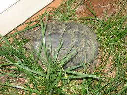 turtle in my backyard help needed cary to move rated