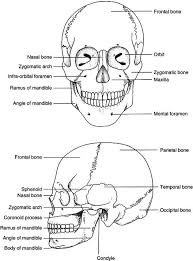 Base Of The Skull Anatomy 9 Head And Neck Anatomy And Physiology Pocket Dentistry