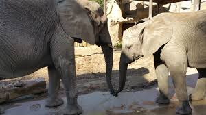 Zoo Lights Utah Hogle Zoo by Utahns Offer Possible Answer To Question Why Do Elephants Rarely