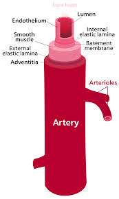 Heart Anatomy And Function Artery Wikipedia