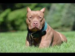 american pitbull terrier size chart american pit bull terrier from puppy to an in 4 minutes
