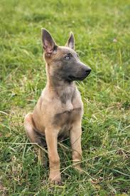 belgian shepherd ears 99 best i want puppies images on pinterest belgium malinois