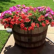whiskey barrel planter cape daisy and trailing verbena flowers