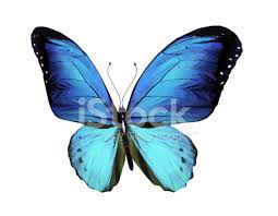 blue butterfly isolated on white stock photos freeimages com
