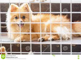Small House Dogs Pitiful Small Body Brown Pomeranian Dog Sitting In Cage Stock