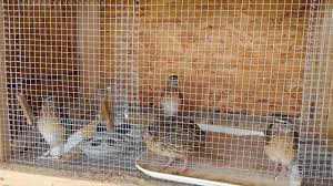Backyard Quail Pens And Quail Housing by Quail Pen Divider Youtube