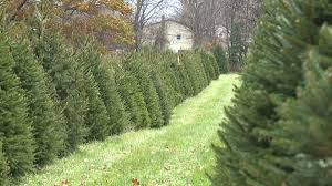 christmas trees on the auction block in union county wnep com
