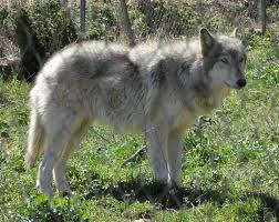 australian shepherd wolf mix the world u0027s 10 most dangerous dog breeds doggy wiki