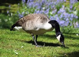 canadian goose free images public domain images