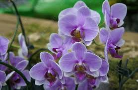 Orchid Plants Aliexpress Com Buy Phalaenopsis Orchid Plant Indoor Desktop