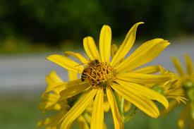 invasive non native plants when is native u2026invasive u2013 native beeology