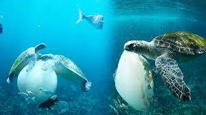 imagenes tortugas verdes impresionantes fotos de tortugas verdes comiendo medusas la gran época