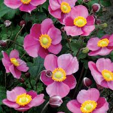 Plants That Don T Need Much Sun Sun Perennial Plants U0026 Flowers Buy Perennials For Sunny Gardens