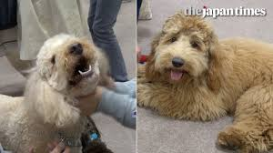 australian shepherd labradoodle australian labradoodles at interpets 2017 youtube