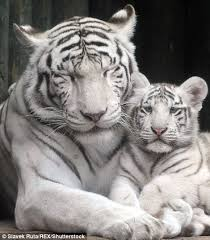 touching images of the family of white tigers at a zoo