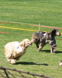 afghan hound group afghan hound breed information history health pictures and more
