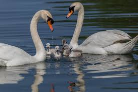 baby animals lebedyata ornamental swan family lake