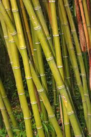 sorte de bambou phyllostachys reticulata u2014 wikipédia