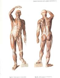 Human Anatomy Muscle 203 Best Anatomy Muscles Statue Images On Pinterest Muscles