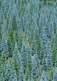 christmas tree farms apple hill california best images
