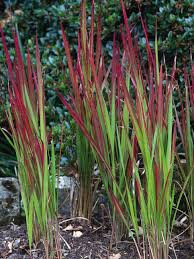 ornamental grasses with colorful leaves ornamental grass hgtv