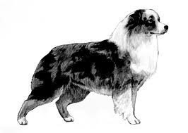 australian shepherd history a glance at history u2013 then and now all about aussies the total