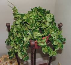 Fragrant Indoor House Plants - fragrant houseplant with flowers decorative and good smelling