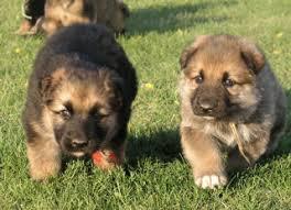 australian shepherd eyebrows pups for sale