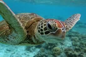 more than half the world u0027s sea turtles have eaten plastic new