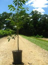 pecan trees oconee type 1 plant me green