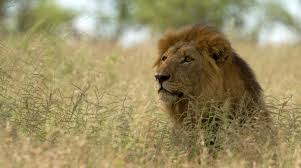 expanding beyond conventional conservation to save african lions