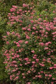 Flowering Shrubs For Partial Sun - escallonia u0027fradesii u0027 pink princess escallonia full to partial