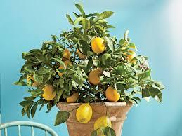 grow a lemon tree southern living