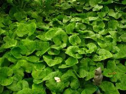 native ginger plant native plants for backyard ponds