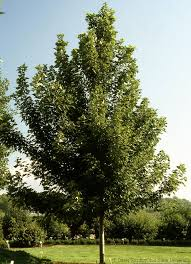 best 25 fast growing shade trees ideas on fast